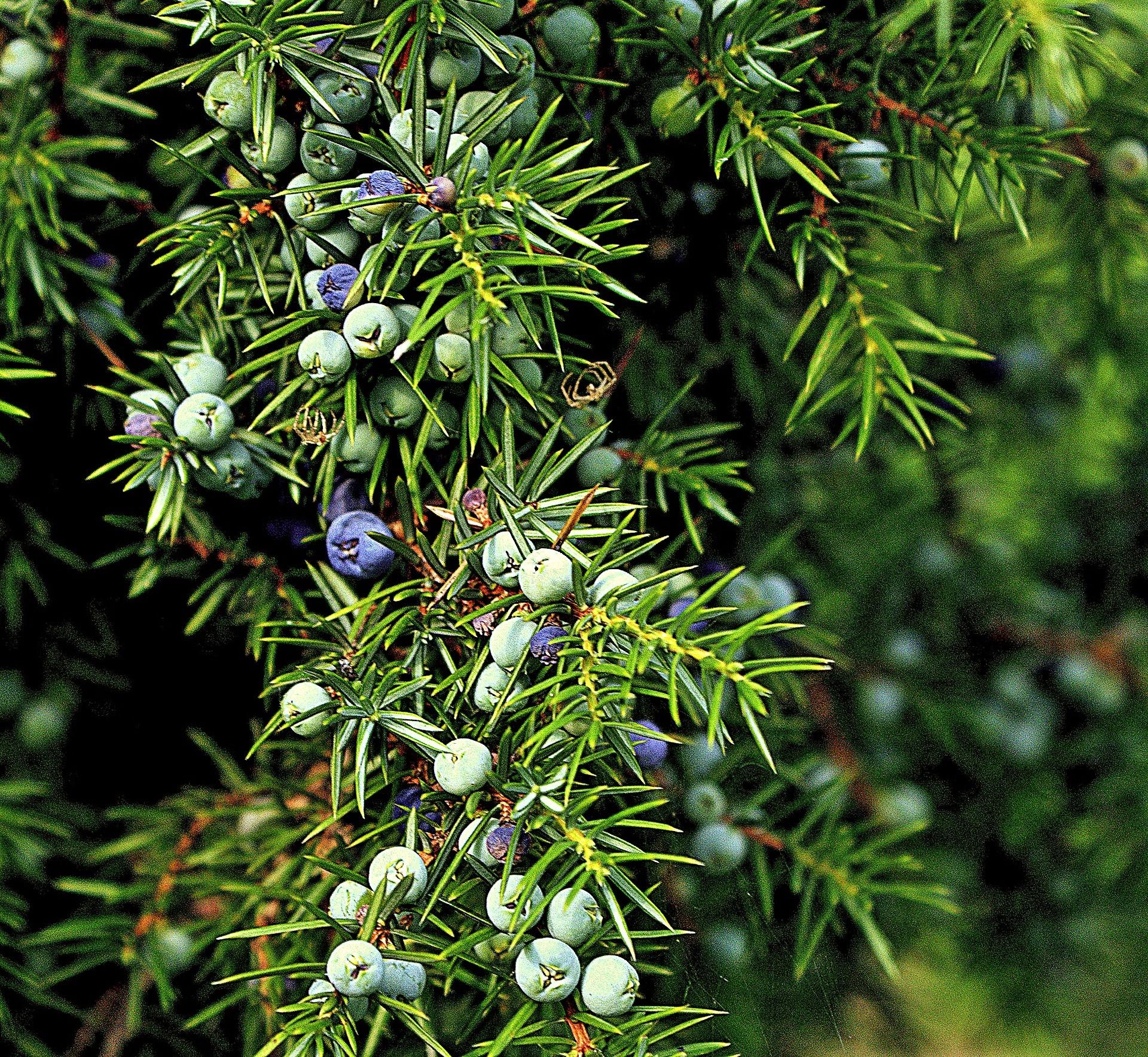 Katajanmarjojen kypsyminen kerstää pari vuotta. Vasta tummansinistet ovat poimintakypsiä ja mausteeksi kelpaavia. Kuva: Pixabay.